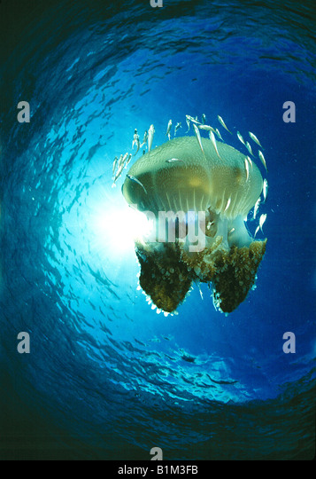 Wildlife, Jellyfish, Thailand, - Stock-Bilder