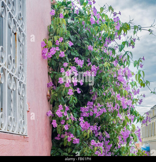 Probably Clytostoma Callistegioides, known as Lavender Trumpet Vine, growing on a wall in Christiansted, U.S. Virgin - Stock Image