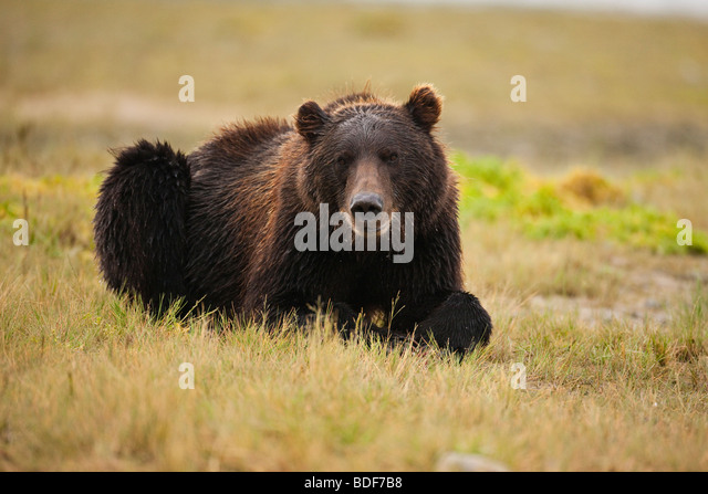 grizzly bear resting in - photo #13