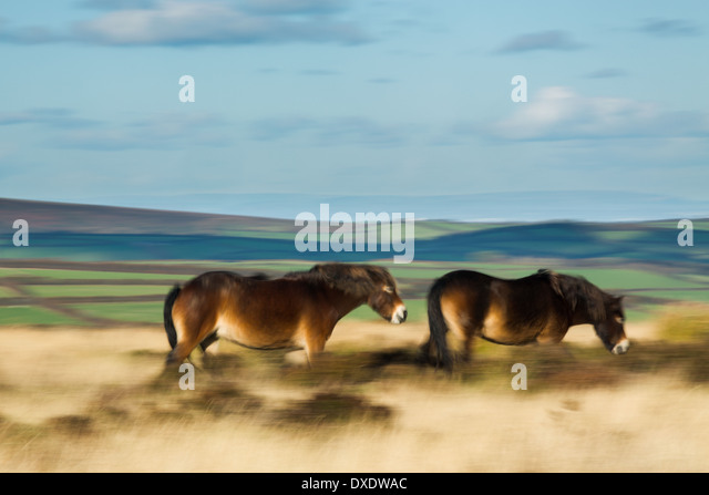 wild ponies on Winsford Hill, Exmoor National Park, Somerset, England, UK - Stock-Bilder