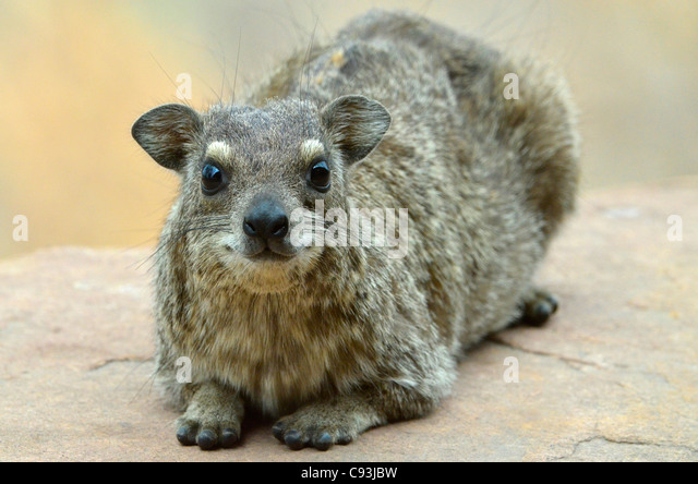 Old yellow spotted rock hyrax, Heterohyrax brucei, relaxing in Hwange National Park, Zimbabwe - Stock Image