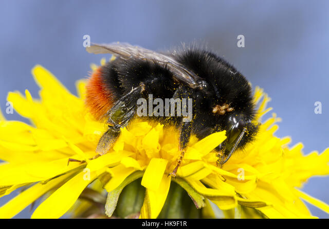 Large Red-tailed Bumblebee (Bombus lapidarius) queen feeding in a Dandelion (Taraxacum) flower in the Spring. Powys, - Stock-Bilder