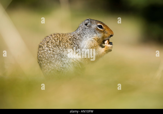 Columbia ground squirrel - Stock Image