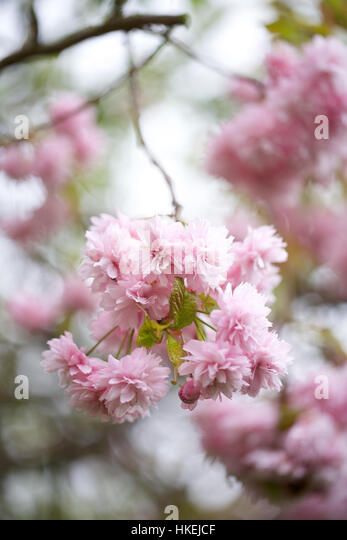 flowering cherry tree. pink, growth, fresh, flower petal. - Stock Image