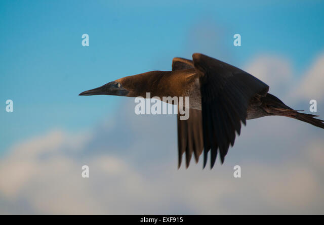 A brown booby (Sula sp.) flying around San Benedicto Island, Revillagigedo, Mexico - Stock Image