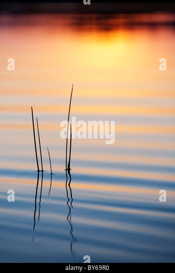 Sunset silhouette grass stem reflecting in a rippling pool india - Stock Image