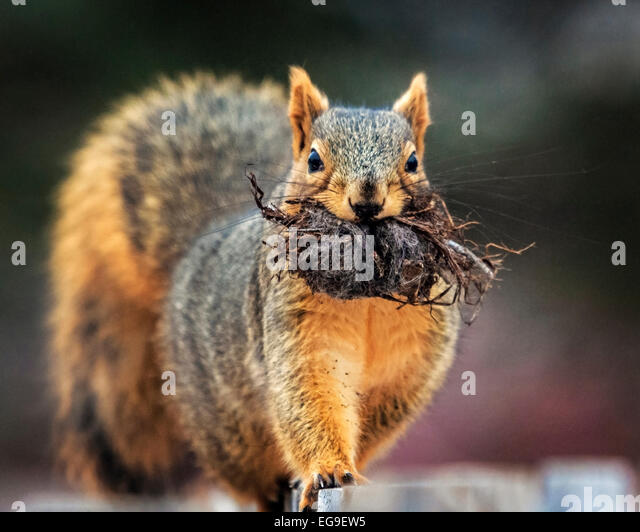 Close-up of squirrel with roots in mouth - Stock Image
