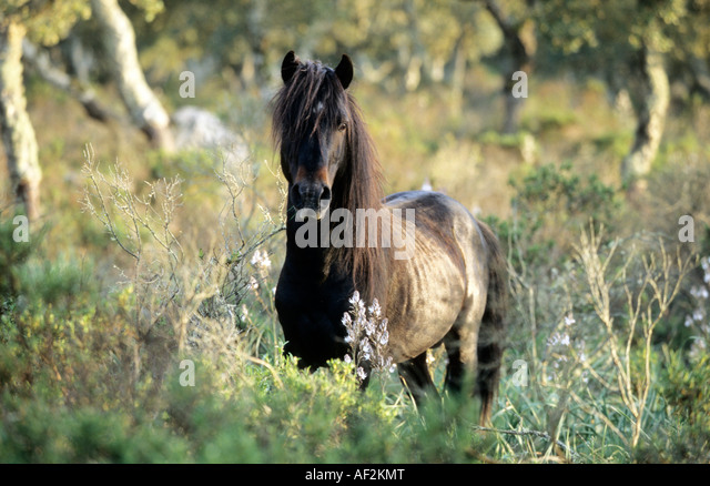 Giara horse black stallion standing between cork trees - Stock Image