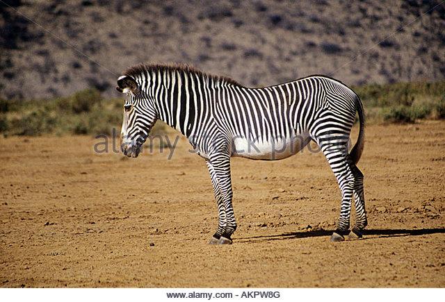 Grevy's zebra - Stock Image