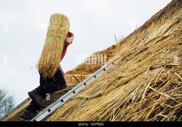Thatcher carrying a yelm of straw up a roof. - Stock Image