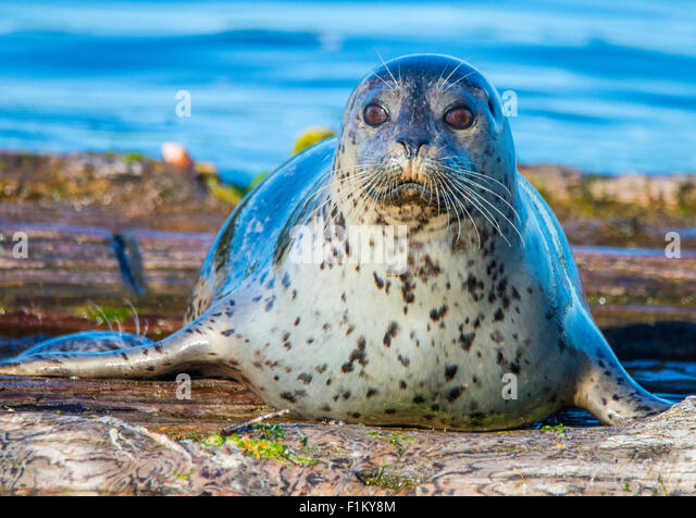 Female Habor Seal Puget Sound, State of Washington. USA - Stock Image