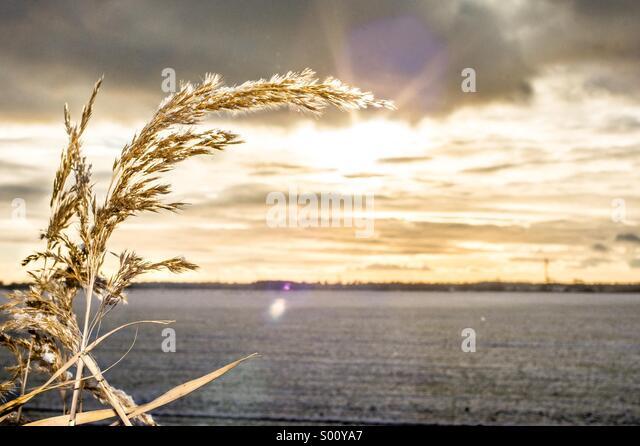 Wheat - Stock Image
