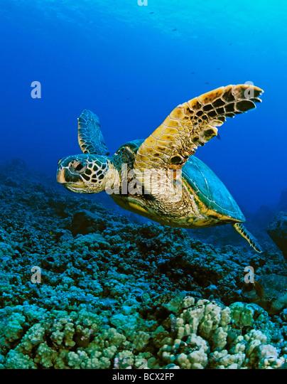 green sea turtle, Chelonia Mydas, Hawaii, USA, Kona, Big Island, Pacific Ocean - Stock-Bilder