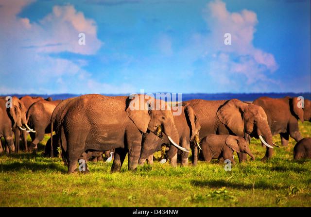 Elephants herd on African savanna. Safari in Amboseli, Kenya, Africa (Loxodonta africana) - Stock Image