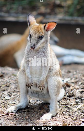 A baby kangaroo - Stock Image