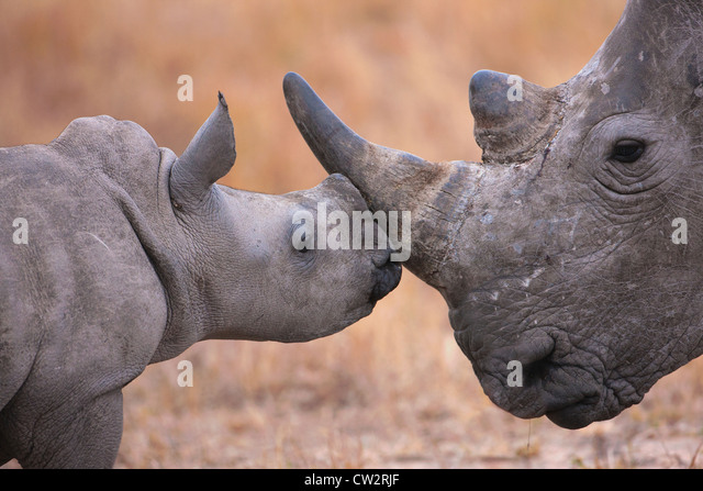 Baby white rhinoceros nuzzling its mother - Stock-Bilder