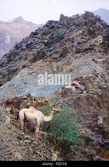 Dromedary camel forages for food in hills between Abha and Jizan; Kingdom of Saudi Arabia - Stock Image
