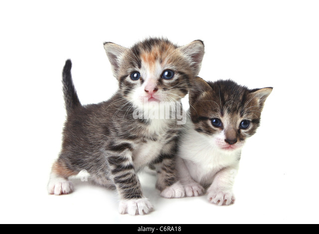 Adorable Cute Kittens on White Background - Stock Image