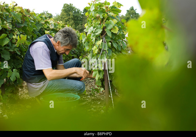 France, Champagne-Ardenne, Aube, worker picking grapes in vineyard - Stock Image