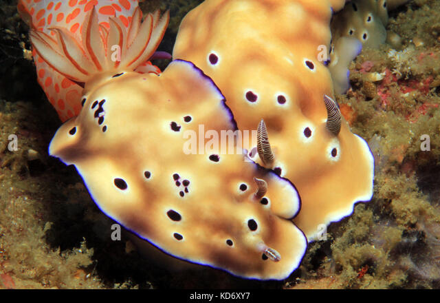 Risbecia Tryoni Couple. Lembeh Strait, Indonesia - Stock Image