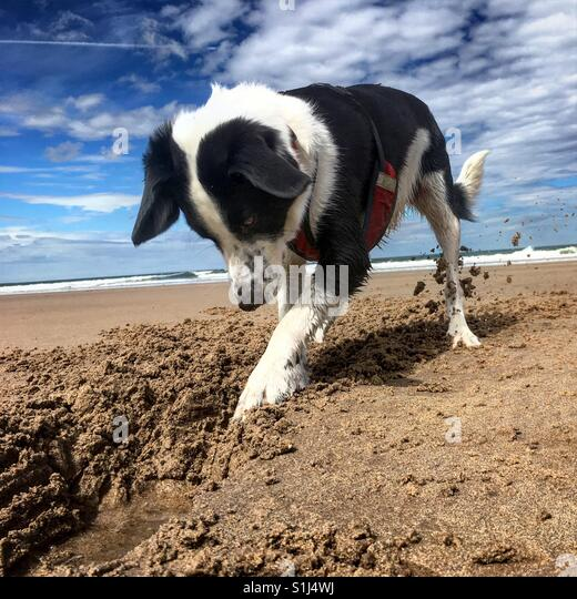 Collie cross dog digging on the beach - Stock Image