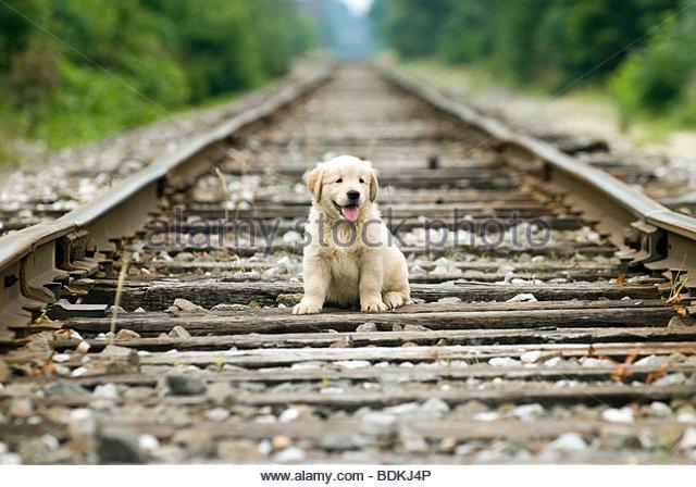 Golden Retriever Puppy - Stock-Bilder