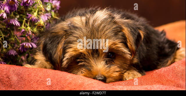 bashful puppy yorkshire - Stock Image