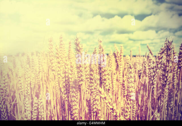 Vintage wheat field background. - Stock Image