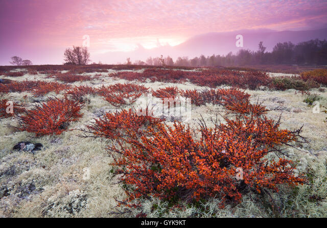 Fall colors and colorful sunrise at Fokstumyra nature reserve, Dovre, Oppland fylke, Norway. - Stock-Bilder