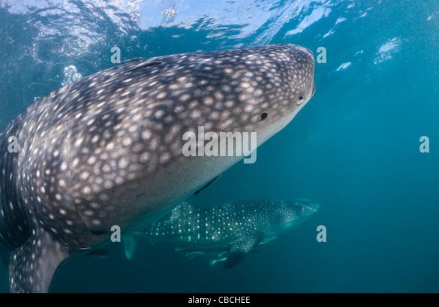 Two Whale Shark, Rhincodon typus, Cenderawasih Bay, West Papua, Indonesia - Stock Image