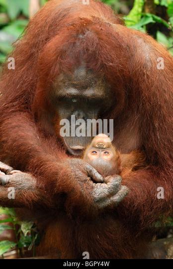 Bornean Orangutan (Pongo pygmaeus), female holdings its baby, Camp Leaky, Tanjung Puting NP, Kalimantan, Borneo, - Stock-Bilder