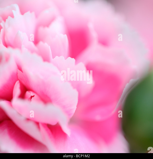 ethereal image of carnation and bud fine art photography Jane Ann Butler Photography JABP377 - Stock Image
