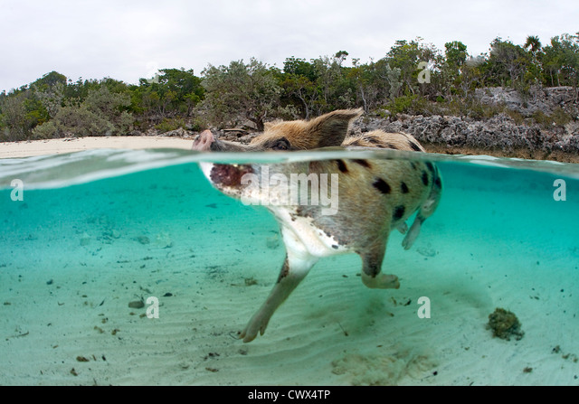 A feral pig swims in the clear waters of the Bahamas at Staniel Cay to greet a boat full of tourists. - Stock-Bilder