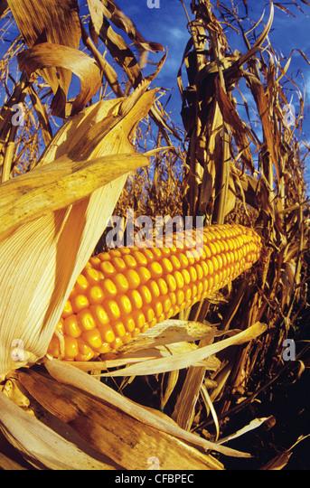 Close-up of harvest ready feed/grain corn near Oakbank, Manitoba, Canada - Stock Image