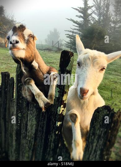 Two goats leaning up against a fence. - Stock-Bilder