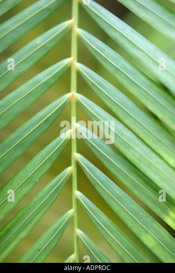 Florida, tropical plant, flora, growing, life, palm branch, frond, green, - Stock Image