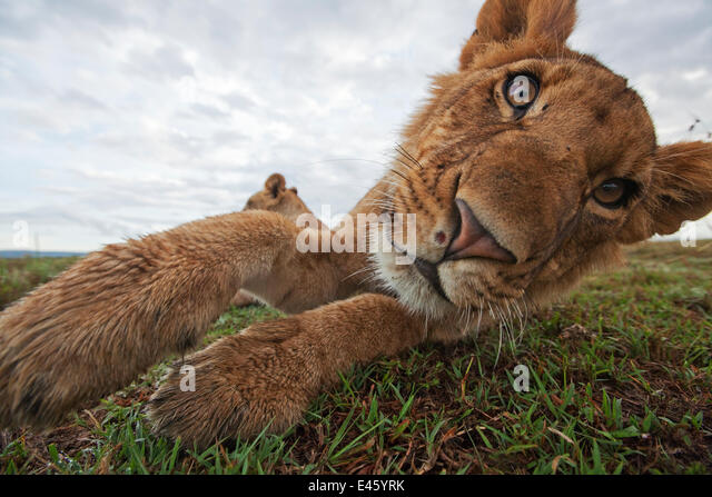 African Lion (Panthera leo) head portrait of juvenile male, relaxing playfully, Masai Mara National Reserve, Kenya. - Stock-Bilder