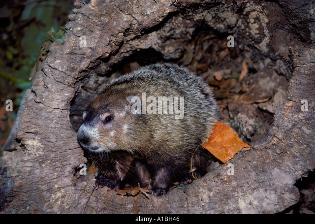 Wildlife missouri wildlife eye contact stock photos for Woodchuck usa