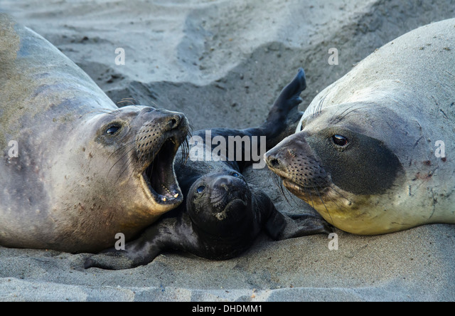 Northern Elephant Seal (Mirounga Angustirostris) On The Central California Coast; California, United States Of America - Stock-Bilder