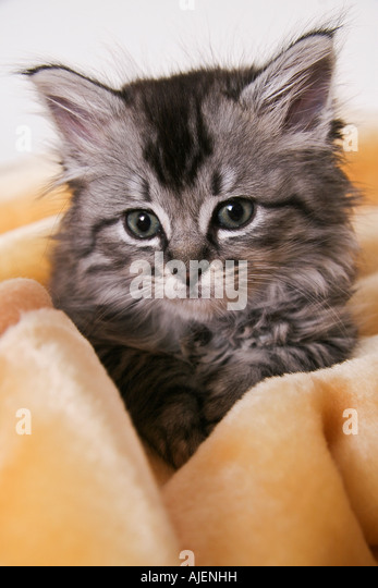 A 6-week old kitten cuddled in a yellow blanket - Stock Image