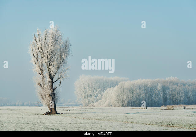 Snow covered tree in a field on a winters day, Den Dool, South Holland, Netherlands - Stock Image
