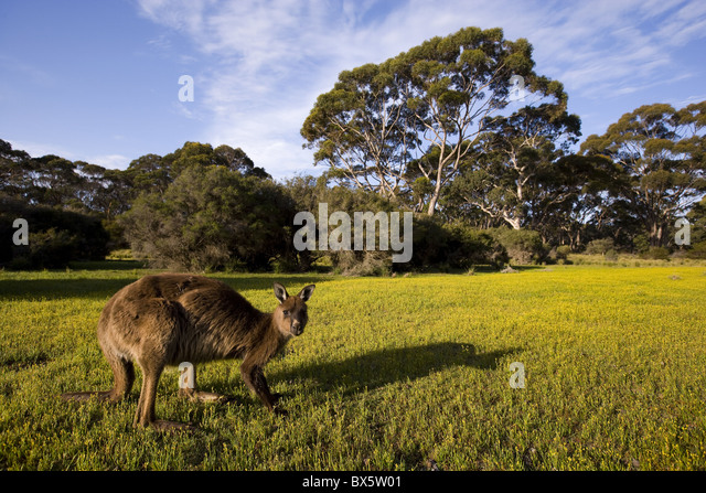 Kangaroo Island grey kangaroos, Flinders Chase National Park, Kangaroo Island, Australia - Stock Image