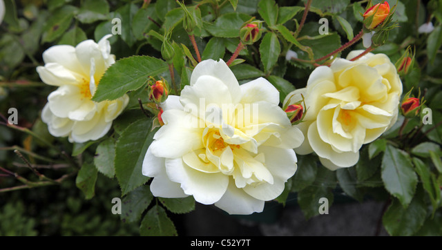 yellow Flower Carpet rose, repeat flowering ground cover rose in an Irish garden - Stock Image