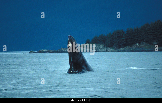 Alaska alaskan humpback whale - Stock Image
