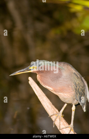 Green backed heron Butorides virescens portrait closeup standing on tree limb fl nature birding wildlife  florida - Stock Image