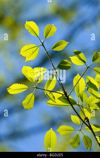Chestnut oak leaves, Quercus prinus, early srping - Stock Image