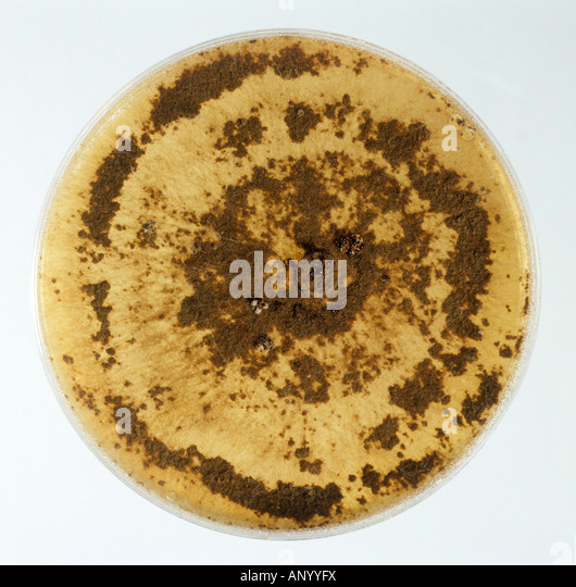 A culture of the pathogenic fungus Rhizoctonia solani on a PDA nutrient plate - Stock Image