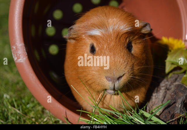 Ginger guinea pig sitting in a plant pot in a garden eating grass - Stock Image