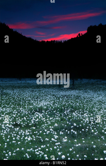 Cotton grass at nighttime between the two mountains Andersnatten and Borofjell in Eggedal, Buskerud fylke, Norway. - Stock-Bilder