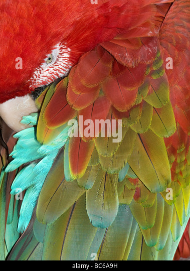Red and Green Macaw (Ara chloroptera) Sleeping, detail of feathers - Stock Image